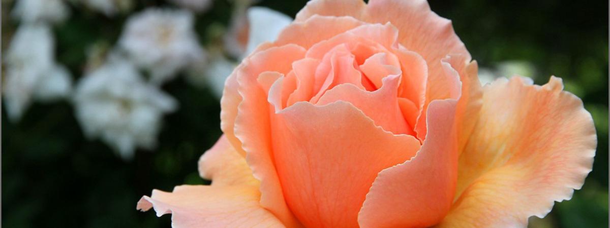 Fabulous roses