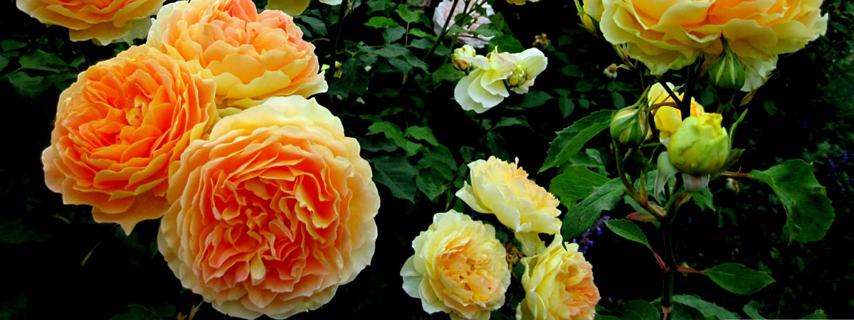 Explore the international world of roses