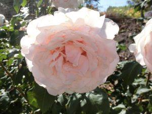 Rose - Roberto Capucci